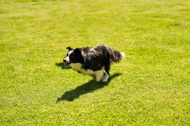Border collie-hond op een behendigheidsveld