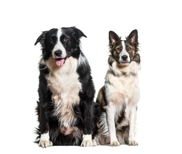 Border collie-honden zitten en hijgen, uitgesneden