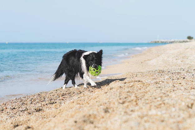 Border collie met bal in mond terwijl het lopen op het strand
