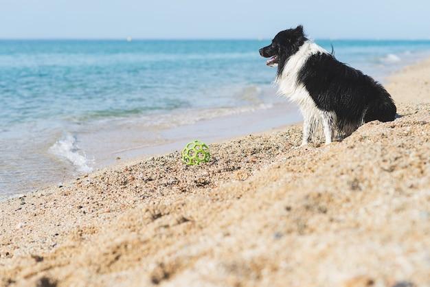 Border collie met bal in mond zittend op het strand