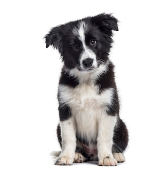 Border collie pup, 17 weken oud, zittend tegen een witte achtergrond