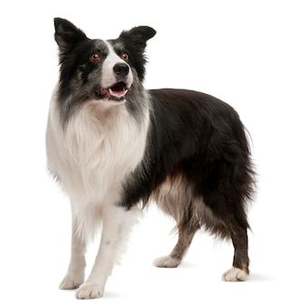 Border collie staat