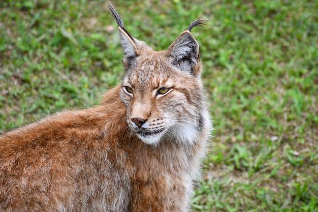 Boreale lynx in natuurlijke omgeving