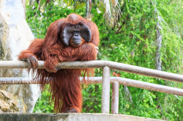 Bornean orang-oetan (pongo pygmaeus) in thailand