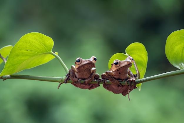 Borneo eared boomkikkers op boomtak