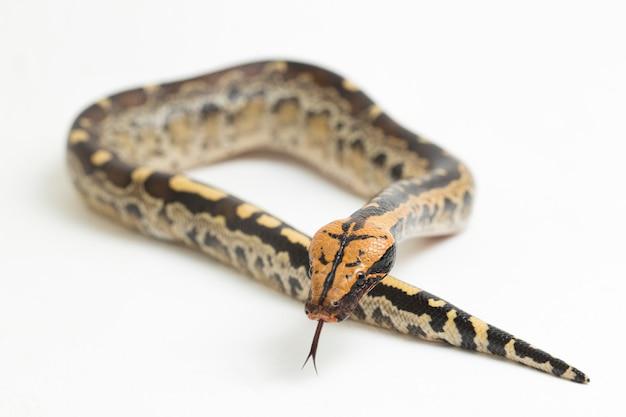 Borneo kortstaartige bloedpythonslang python curtus breitensteini geïsoleerd