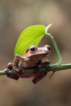 Borneo oren kikker op een boomtak