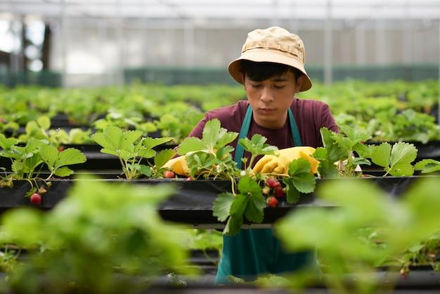 Borst omhoog geschoten van jonge boer die aardbei in een grote serre cultiveren