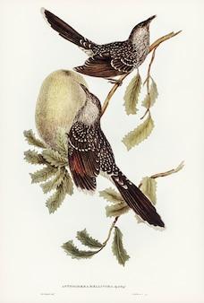 Borstel wattle bird (anthochaera mellivora) geïllustreerd door elizabeth gould