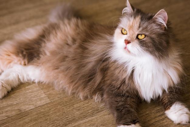 Borstelige kat die op houten vloer legt. mooi familiehuisdier met pluizige vacht en gele ogen die omhoog kijken, close-up portret