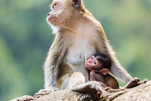 Borstgevoede apen zijn in het wild.