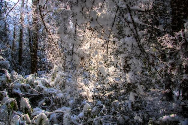 Bos bedekt met sneeuw in de winter