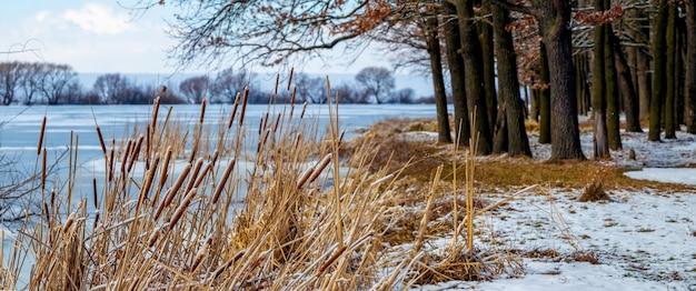 Bos bij de rivier in de winter. rietstruiken op de kustrivier dichtbij het bos