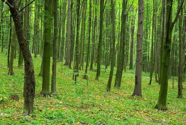 Bos bomen. natuur groene bosscène