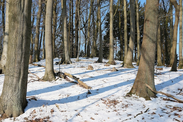 Bos met hoge kale bomen op de besneeuwde grond in de winter