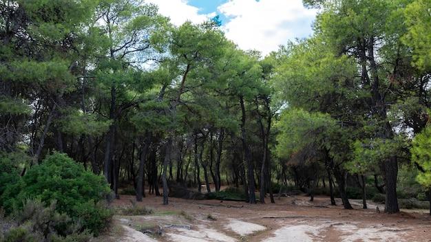 Bos met weelderige groene sparren en struiken, gevallen takken in griekenland