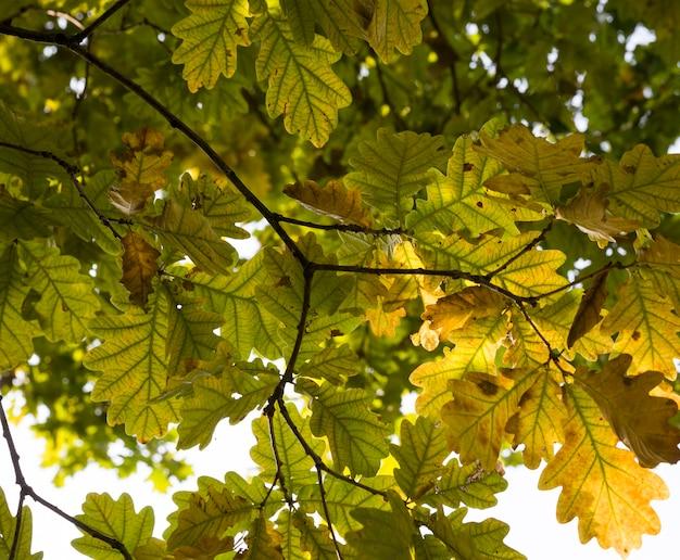 Bos onder de zon in de herfst, details van oude eik met uitdrogende bladeren