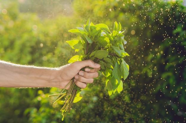 Bos van basilicum in een hand van een man met een spetters water in de lucht.
