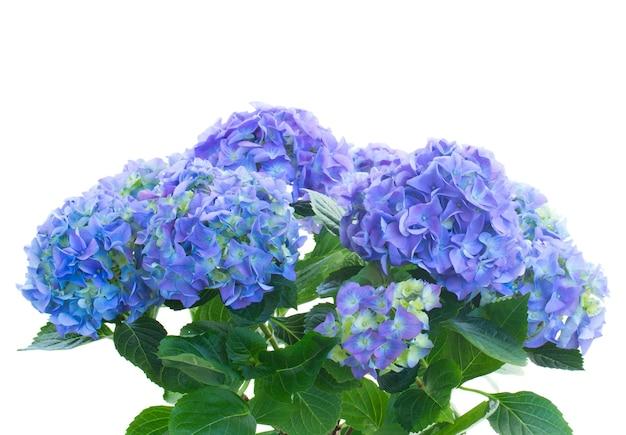 Bos van blauwe hortensiabloemen die op witte ruimte worden geïsoleerd