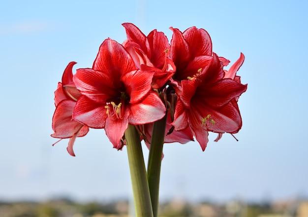 Bos van charisma amaryllis bloemen.