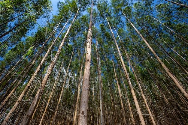 Bos van eucalyptus van beneden naar boven gezien