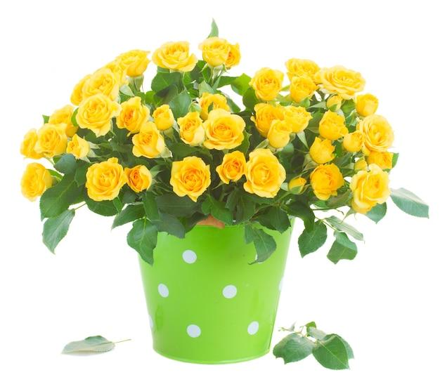 Bos van gele rozen in groene die pot op wit wordt geïsoleerd
