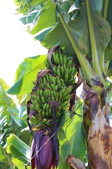 Bos van groene bananen in een boom
