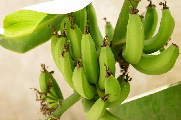 Bos van groene bananen