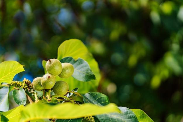 Bos van groene onrijpe walnoten op een tak