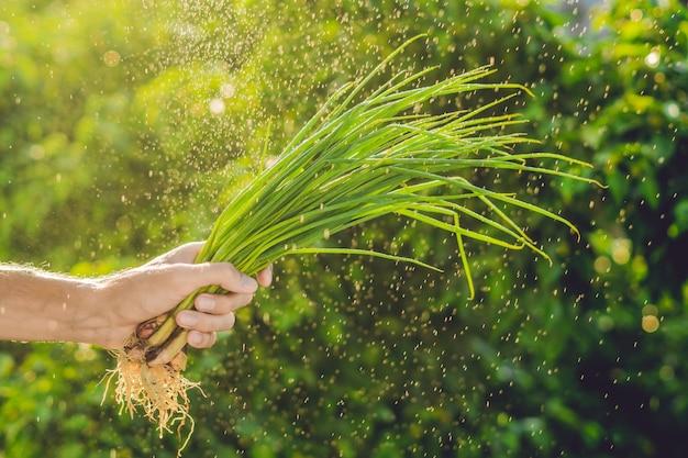Bos van groene uien in een hand van een man met een scheutje water in de lucht.