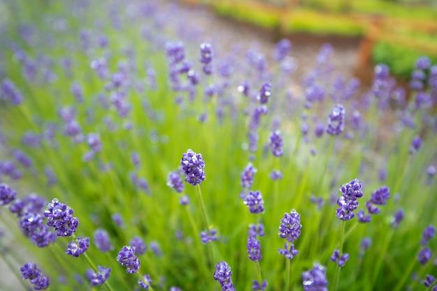 Bos van lavendelbloem die in wintertijd bloeien