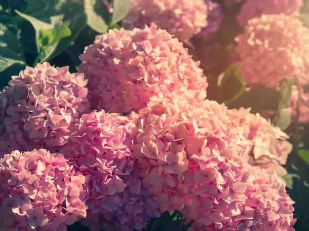 Bos van levendige roze hortensia bloemen