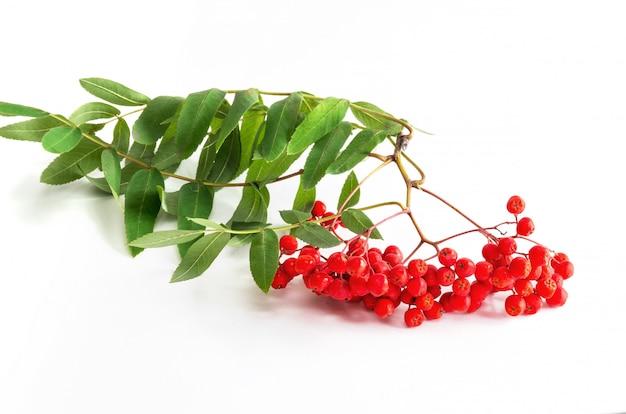 Bos van rode rijpe lijsterbes met groene lijsterbessenbladeren