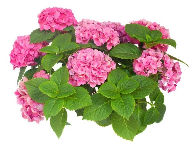 Bos van roze geïsoleerde hortensiabloemen