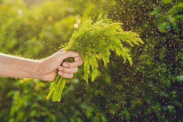 Bos van venkel in een hand van een man met een spetters water in de lucht.