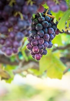 Bos van vers druivenfruit in wijngaard