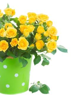 Bos van verse gele rozen in groene pot close-up geïsoleerd op wit