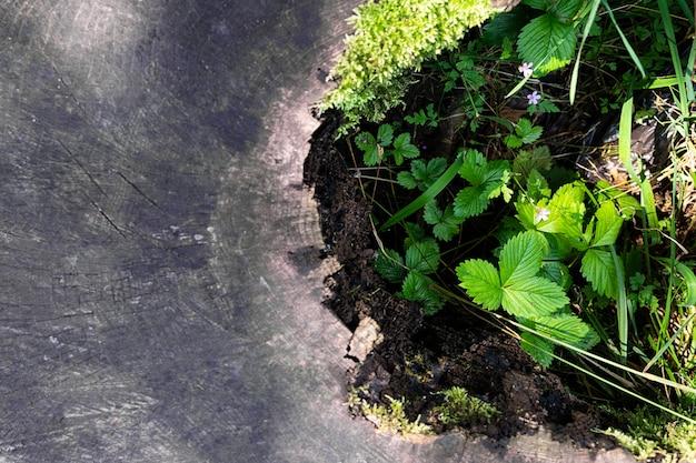 Bosaardbeien groeien in een verwoeste oude boomstronk.