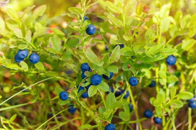 Bosbessentakje, bosbessenstruik in een tuin in de zomer. macro perspectief, achtergrond. vers fruit.