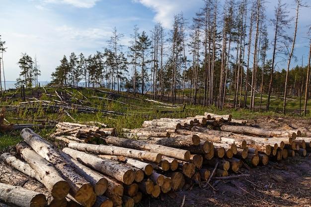 Bosdennenbomen stammen gekapt door de houtkapindustrie. vernietiging van een dennenbos door houtkap