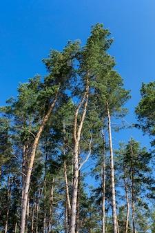 Bosfoto, waarop een groot aantal pijnbomen groeit, een gemeenschappelijk plan