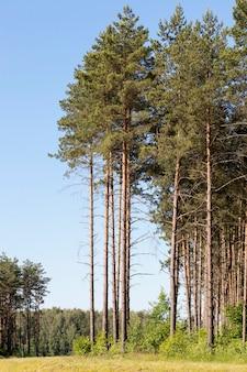 Bosfoto, waarop een groot aantal pijnbomen groeit, solitaire bomen op een oppervlak van blauwe lucht