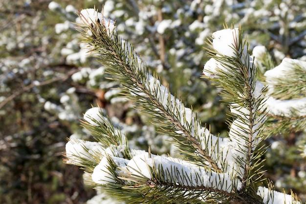 Bosgebied, beplant met pijnbomen. op de takken van dennenbomen ligt witte sneeuw na een sneeuwval. fotoclose-up in de winter. kleine scherptediepte