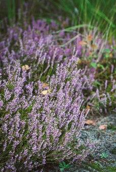 Bosheide, struik van lila bloemen, delicate, mooie bloeiwijzen