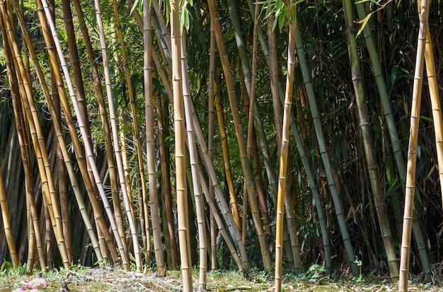 Bosje van bamboeboom
