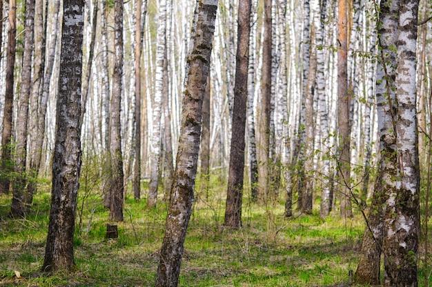 Bosje van berkbomen in de vroege lente