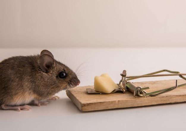 Bosmuis, apodemus sylvaticus, snuffelend aan het kaasaas aan een muizenval