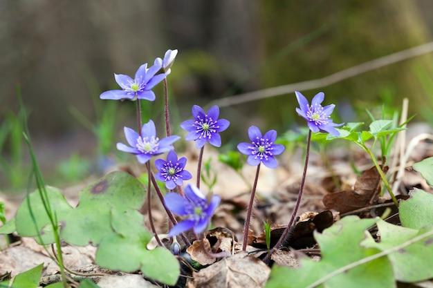 Bosplanten in het voorjaar in het bos, de eerste blauwe bosbloemen in het voorjaar