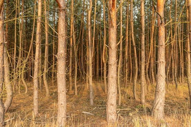 Bossen uitzicht in het bos met stengels van jonge dennen, landschap