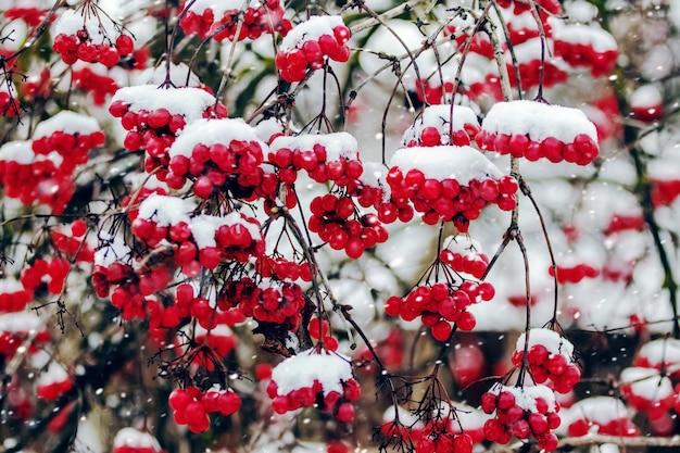 Bossen van rode viburnum bedekt met sneeuw tijdens een sneeuwval